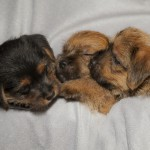 Cathie and Lou Heimbach welcomed a litter of puppies just in time for the 2011 Holidays. (Jamie Hopf Photo)
