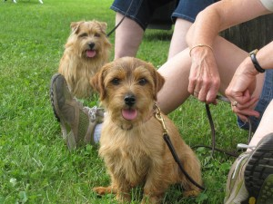 Waiting their turn at the Finger Lakes Kennel Club earthdog trial in July.