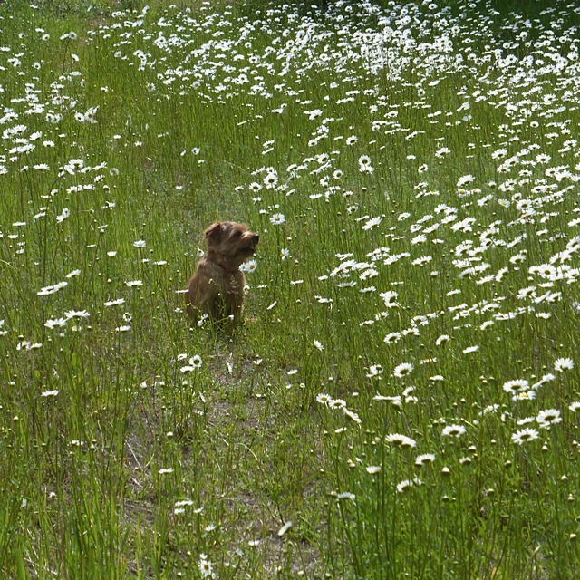 Lucy in the sky with diamonds?  Or, Lucy in the field with daisies.