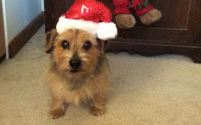 Cooper ... one of Santa's Helpers (Judy Carbauh)