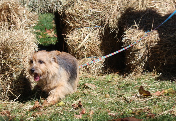 In his first ever chance at barn hunt, Lesley Shanks black & tan dog Jack knew exactly where to find those rats! (Sheila Foran Photo)